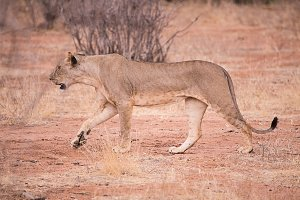 lioness in Samburu National Park, Ke