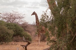 giraffes in nakuru National Park, Ke