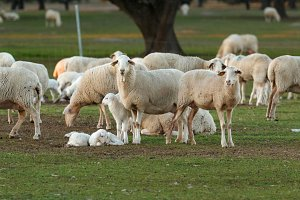 nice picture of sheep in the field