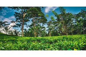 Tea plantation surrounded by the tropical forest.