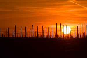 Vineyard trellis with sunset sky