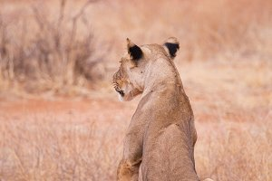 back lioness in Samburu National Par