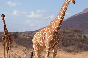 giraffes in samburu national park in