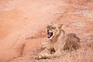 lionesses in Aberdare National Park,