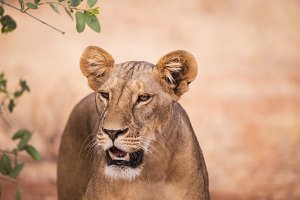 lioness in Samburu National Park Ken