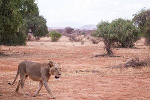 uncrowned lion in Samburu National P