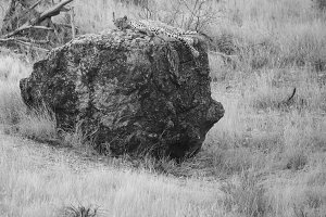 Leopard lying on rock in Samburu Nat
