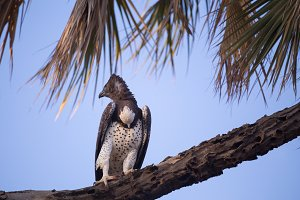 crowned eagle in Kenya