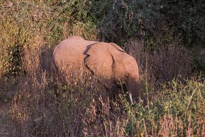 elephant in Samburu National Park in