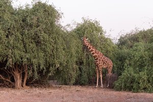 giraffe in Samburu National Park in