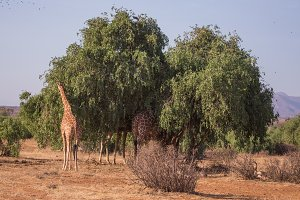 giraffe in Samburu National Park, Ke