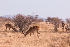 antilope impala in Samburu National