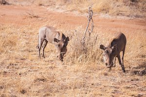 Pumba in samburu national park in ke