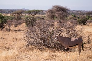oryx antelope in Samburu National Pa