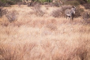 Zebra in Samburu National Park, Keny