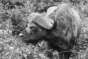 Buffalo, Aberdare Park in Kenya