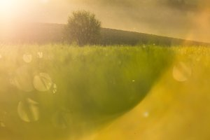 Green grass, golden light