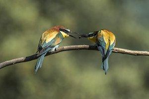 bee-ester, merops apiaster