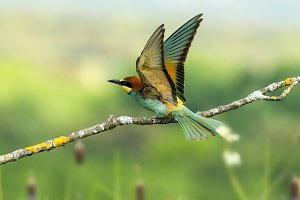 Merops apiaster bee-eater