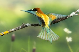 bee-eater Merops apiaster