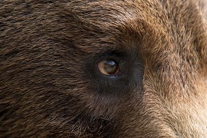 Bear eye