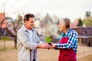 Senior couple holding seedling in their garden, spring nature
