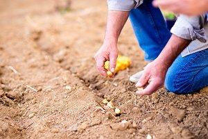 Senior man planting onions in row against dirt, detail