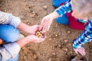 Close up, unrecognizable senior couple planting onions in row