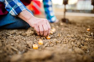Close up, unrecognizable senior woman planting onions in row