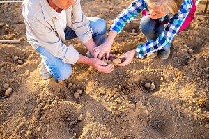 Close up, unrecognizable senior couple planting potatoes in row