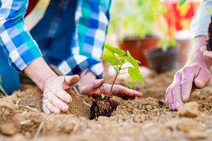 Close up of hands, senior couple planting little seedling