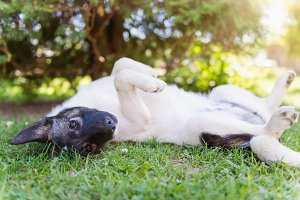Happy dog lying on back in grass with extending paw
