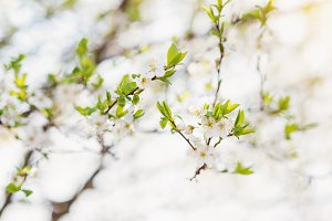 Blooming tree branches with white flowers and green leaves. Spri