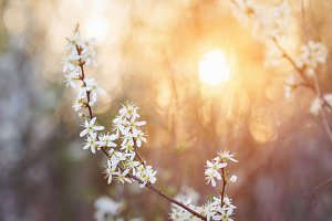 Blooming tree branches with white flowers against sunset. Spring