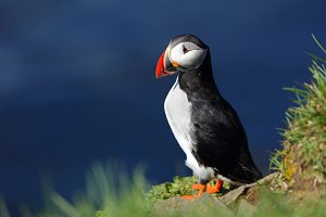 Puffin in Latrabjarg cliffs