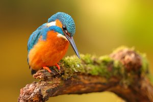 king fisher perched in a branch