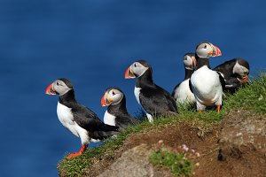 Group of puffins in Latrabjarg cliff