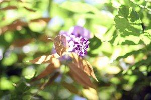 wisteria leafs & flower