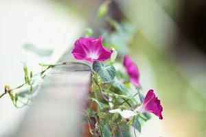 Purple spring (Ipomoea purpurea)