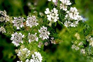 Coriander in bloom