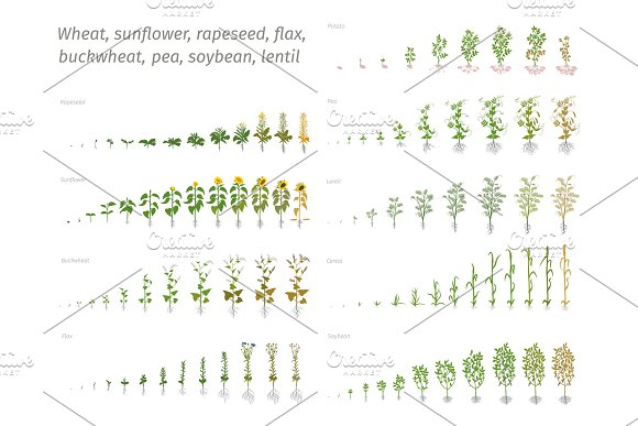 Sunflower Rapeseed Flax Buckwheat Pea Soybean Potato Wheat Vector Showing The Progression Growing Plants Determination Of The Growth Stages Biology