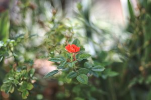 Little red rose