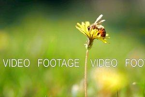 Honey bee gathering blossom dust on dandelion