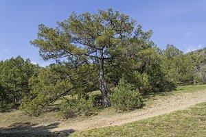 Greek Juniper (Juniperus excelsa).