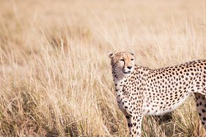 Cheetah in masai mara in kenya