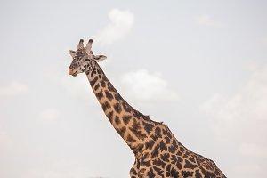 Giraffes in masai mara in kenya afri