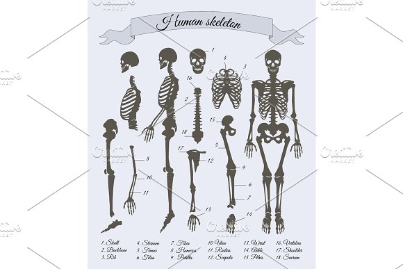 Human Skeleton And Parts Vector Illustration