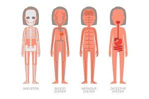 Skeleton Blood Nervous and Digestive Systems Build