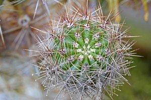Cactus (macro)