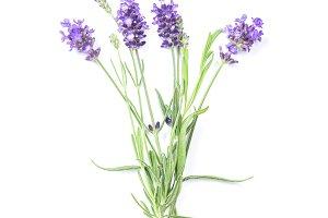 Lavender herb flower